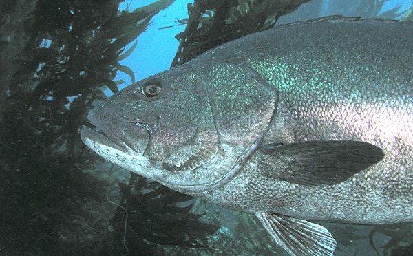 Memories of The Giant Sea Bass, The King of The Kelp Forest