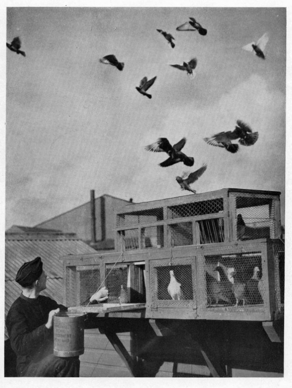 a vintage photo of a boy watching his homing pigeons exercise their wings after being released from their catch pen